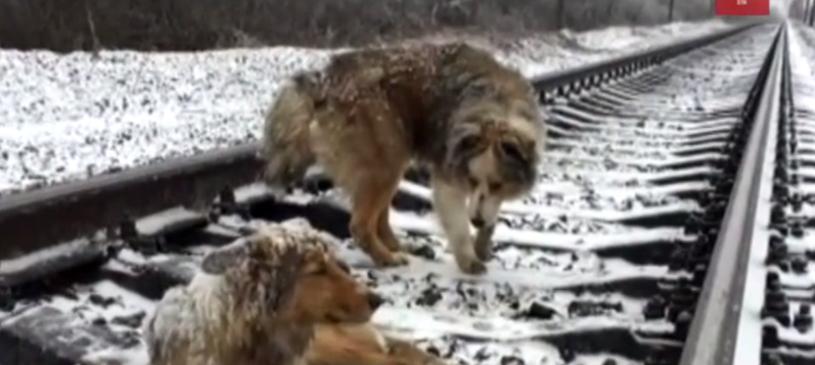 Pies czuwający przy swojej towarzyszce /Телеканал ZIK /YouTube