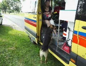 Pies doprowadził do kolizji. A później zrobił coś niesamowitego