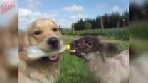 Pies karmi butelką małą owieczkę