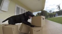 Pies kontra stos kartonowych pudełek