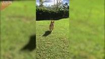 Pies, który myśli, że jest królikiem