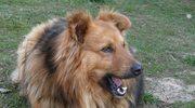 Pies łańcuchowy