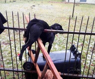Pies nabił się na ogrodzenie po wystrzale fajerwerków. Wisiał kilka godzin