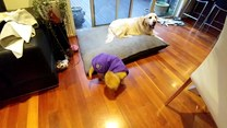 Pies nie może opanować własnego ogona
