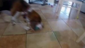 Pies zamienia łóżeczko w basen z piłkami