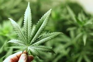 Pigułki z leczniczą marihuaną trafiły do Europy