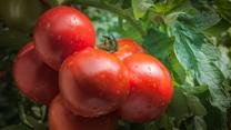 Pikowanie pomidorów. Niech żyje ogród!