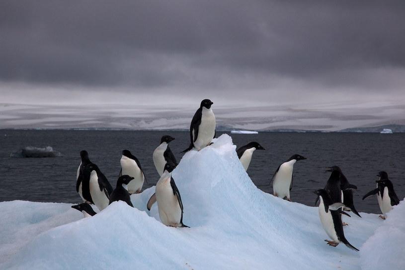 Pingwinów białookich jest o 3,6 mln więcej niż przypuszczaliśmy /materiały prasowe