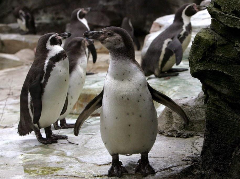 Pingwiny Humboldta / PAP/ EPA/INGO WAGNER /PAP/EPA