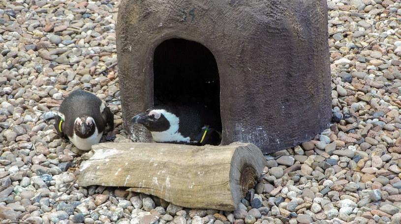 Pingwiny przylądkowe mają tutaj swoje domki /Styl.pl