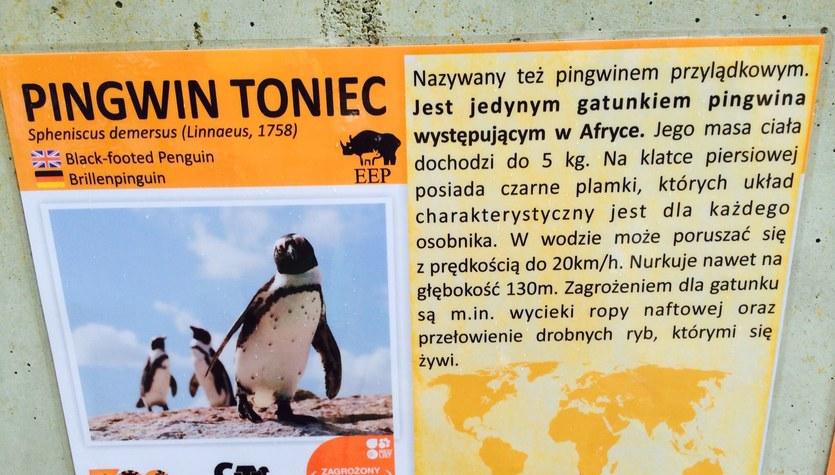 Pingwiny zamieszkały we Wrocławiu!