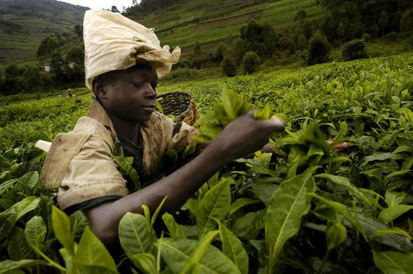 Plantacja herbaty w Rwandzie /AFP