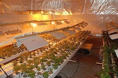 Plantacja marihuany w pensjonacie