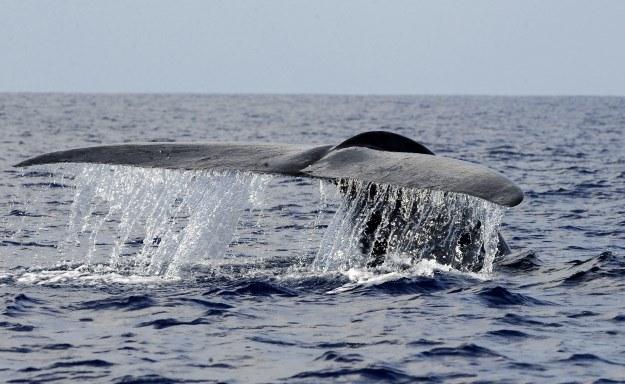 Płetwale błękitne zagrożone także przez działanie sonarów /AFP