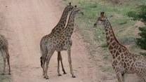 Po co żyrafom długie szyje?
