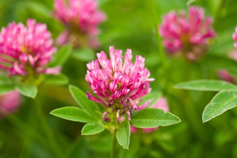 Po dokładnym wysuszeniu i starannym zmieleniu, z kwiatów można otrzymać mąkę /©123RF/PICSEL