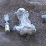 Podczas spaceru plażą znaleźli szczątki leniwca sprzed... milionów lat