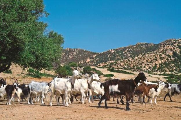 Podstawą gospodarki  wyspy jest rolnictwo. Dużą rolę odgrywa hodowla kóz i owiec. /Flash Press Media