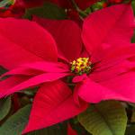 Poinsecja: Jak pielęgnować gwiazdę betlejemską?