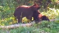 Pojedynek bokserski w wykonaniu niedźwiadków