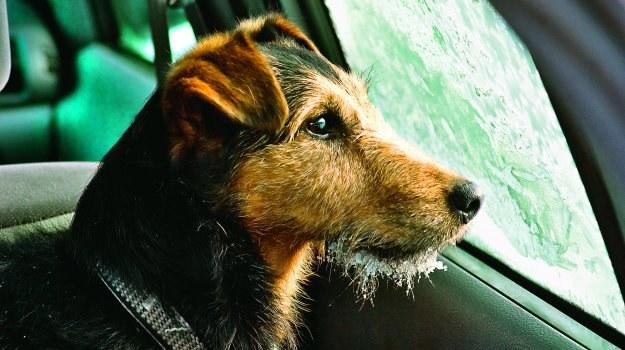 Policja ma prawo ukarać właściciela auta za pozostawianie w kabinie zwierzęcia bez opieki. /Motor