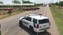 Policjanci zatrzymali ruch drogowy przez... krowy