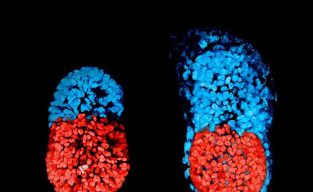 Polka z Cambridge zbudowała sztuczny mysi embrion