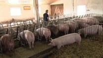 Polscy naukowcy opatentowali zdrową wieprzowinę