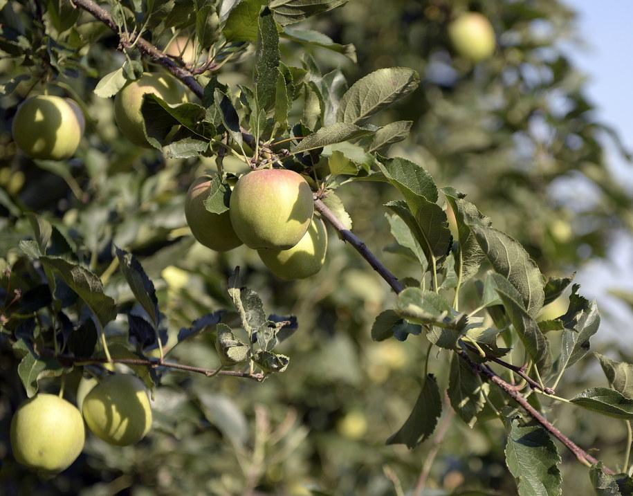 Polska jest największym na świecie producentem jabłek. Na zdjęciu: sad w Żurawicy na Podkarpaciu /Darek Delmanowicz /PAP