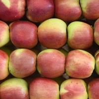 Polskie jabłonie w Kaliningradzie. Rosjanom pomagają