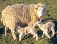 Polskie owieczki trafiają na włoskie stoły /RMF