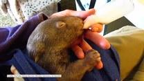 Pora karmienia młodego wombata