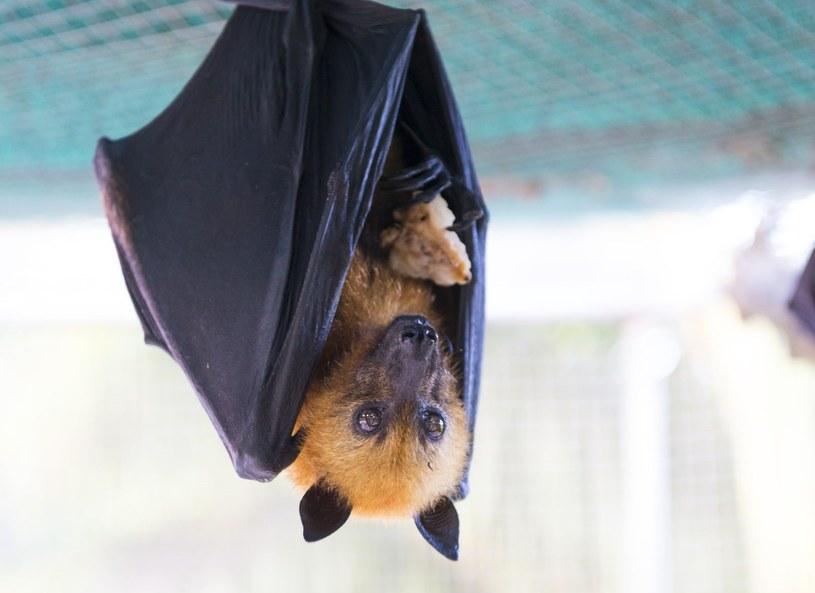 Porażone prądem owocożerne nietoperze lądują na talerzu, najczęściej w formie curry. Są specjalnością seszelskiej kuchni. /123/RF PICSEL