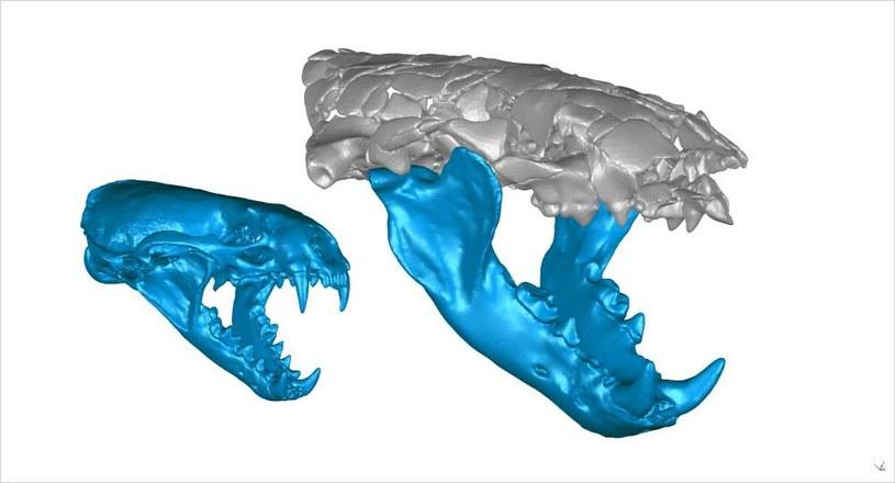 Porównanie rozmiarów czaszek wydr /materiały prasowe