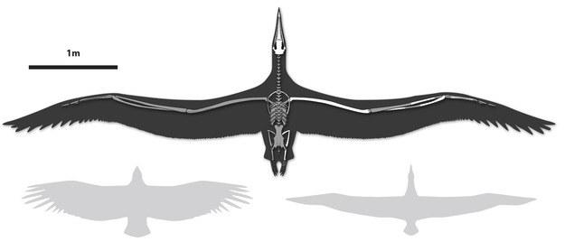 Porównanie rozpietosci skrzydeł nowego rekordzisty z kondorem kalifornijskim (po lewej) i albatrosem królewskim Rys. Liz Bradford /materiały prasowe