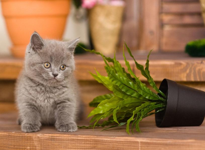 Postawmy kwiaty trujące w miejscu niedostępnym dla kota /©123RF/PICSEL