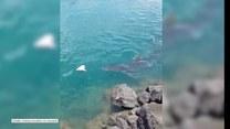 Potężny rekin zawitał do portu na Hawajach. Szukał jedzenia