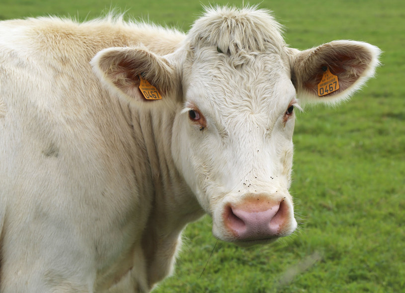 Potwierdzono przypadek choroby szalonych krów we Francji (zdj. ilustracyjne) /Leonard Zhukovsk /123RF/PICSEL