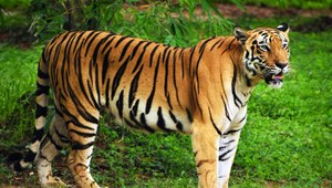 Poznań: Atak na tygrysy z zoo. Policja szuka sprawców