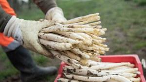 Praca w Niemczech: Brakuje pracowników do zbioru szparagów