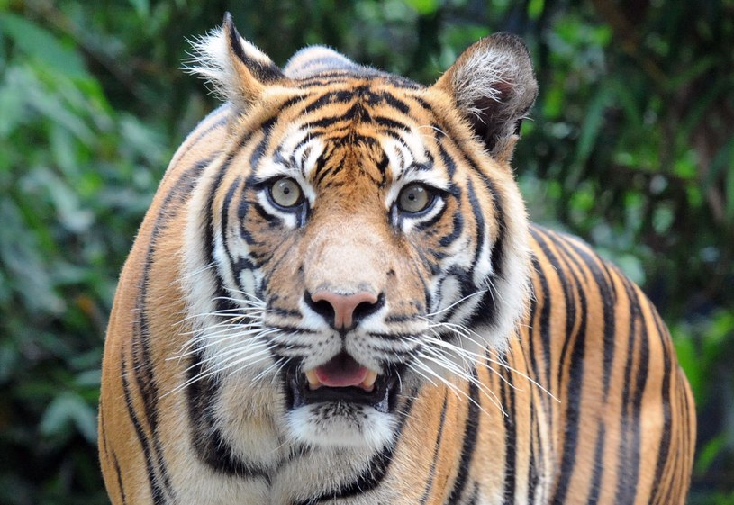 Pracownik zoo został pogryziony przez tygrysa /AFP