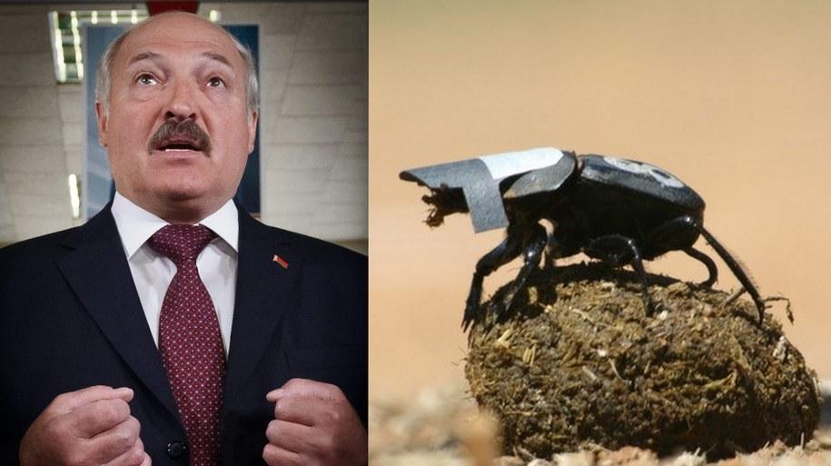 Prezydent Białorusi razem z żukiem gnojarzem zasłużyli na Antynoble. /Wojciech Pacewicz/Marcus Byrne /PAP/EPA
