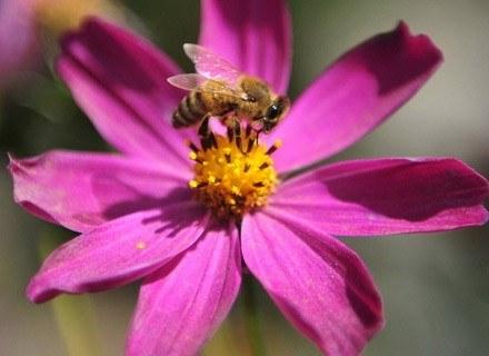 Produkty pszczele stosowane są w produkcji kosmetyków od lat /AFP