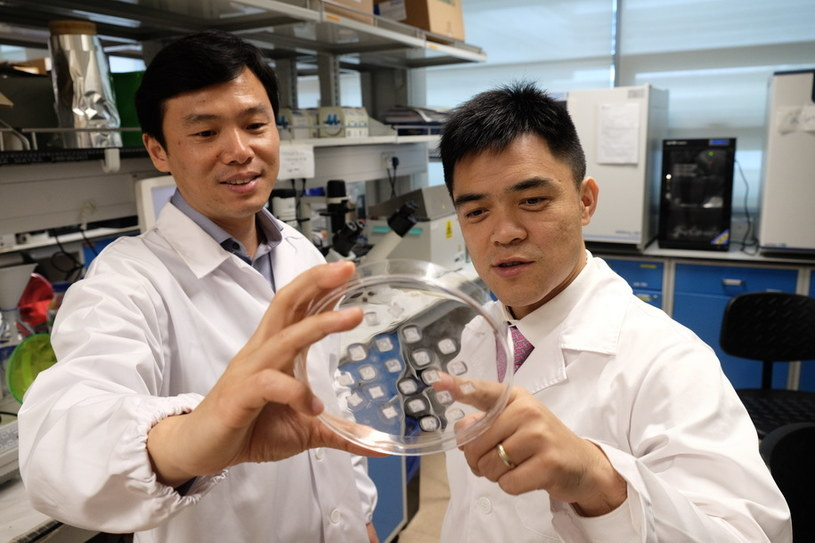 Prof. Chen Peng (po lewej) i prof. Xu Chenjie z próbkami odchudzających plastrów /materiały prasowe