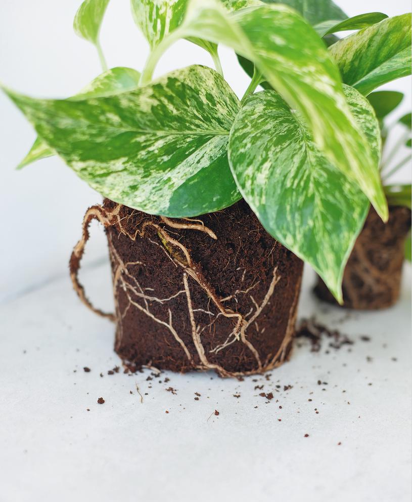 Przelaną lub przesuszoną roślinę można uratować /Projekt Rośliny /INTERIA.PL/materiały prasowe