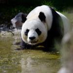 Przodkowie pand żyli w Europie