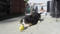 Psy kontra… cytryny. Kto wygrał?