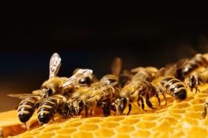 Pszczoły będą roznosić pestycydy