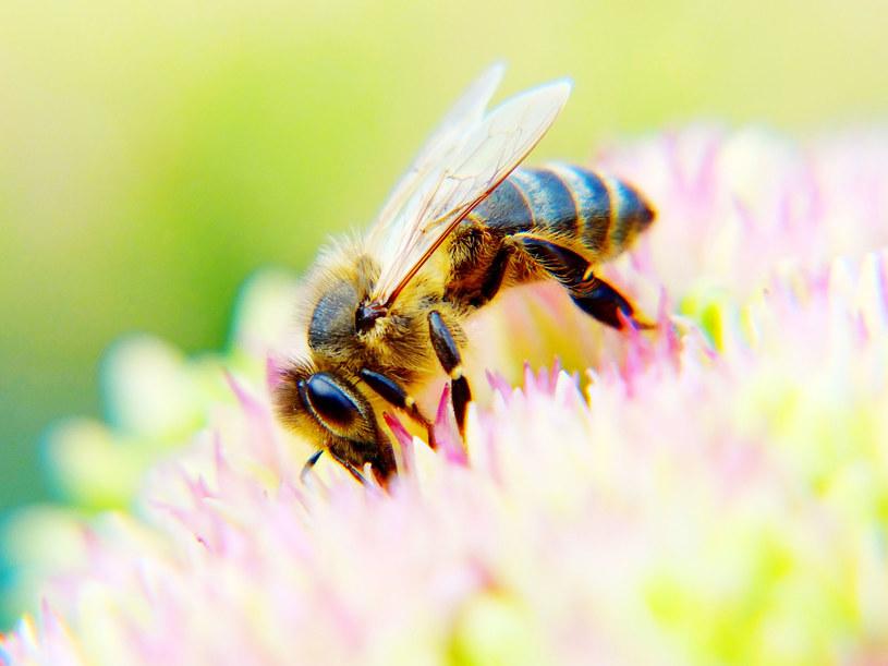 Pszczoły masowo wymierają, więc naukowcy szukają alternatyw /123RF/PICSEL