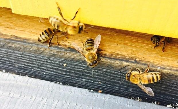 Pszczoły w centrum Łodzi. Może być ich nawet pół miliona